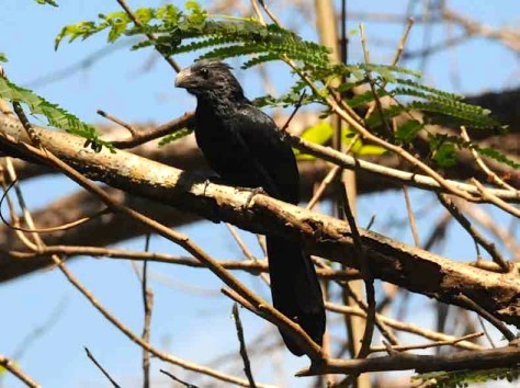Photograph of a Groove-Billed Ani