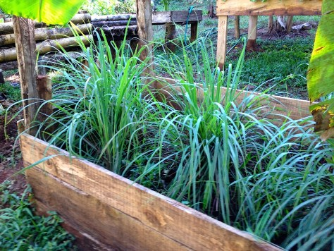 Photograph of lemongrass growing in a raised bed