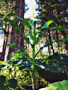 single corn plant