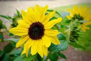 dwarf sunflowers in BC