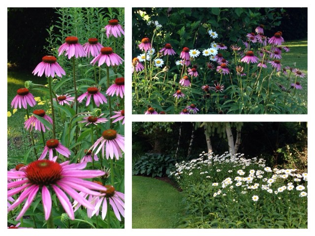 Daisies and coneflowers galore