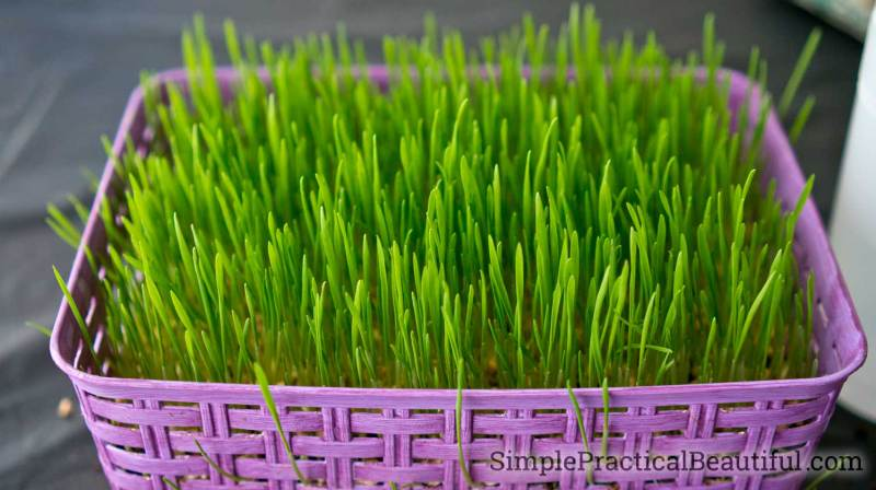 Wheat grass grown in a basket or indoor container