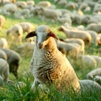 A parábola da ovelha perdida desgarrada