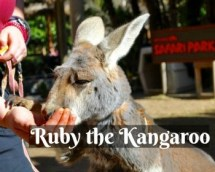 Ruby the Kangaroo