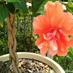 Friday Flowers – Hibiscus