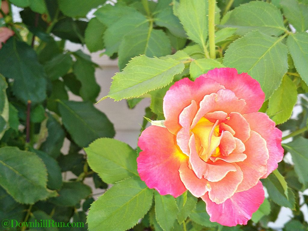 Rose Friday Flowers 8 5 2016
