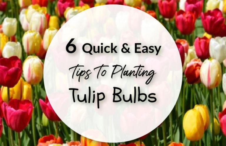 6 Quick and Easy Tips To Planting Tulip Bulbs