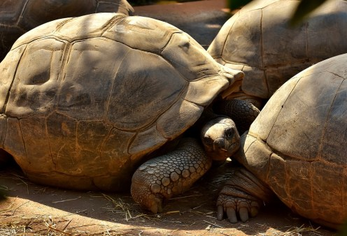 giant-tortoises-2666917_960_720