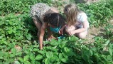 My daughter and her friend picking fresh strawberries...