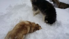 Burying their faces in the snow.