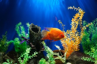 An orange fish in a tank