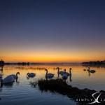 Bosham swans