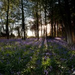 Bluebells & Shadows