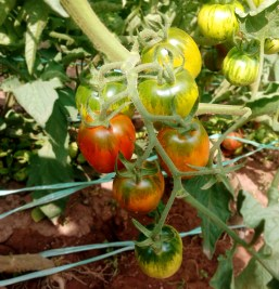 Cherry Tomatoes | simplyanchy.com
