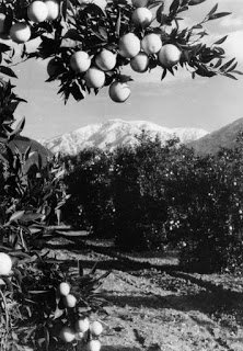 Mt. Baldy seen from orange grove in Claremont LAPL - T.S. Eliot in Love and Los Angeles: A Photo Essay