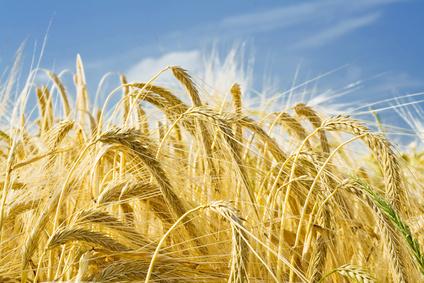Ripe harvest field