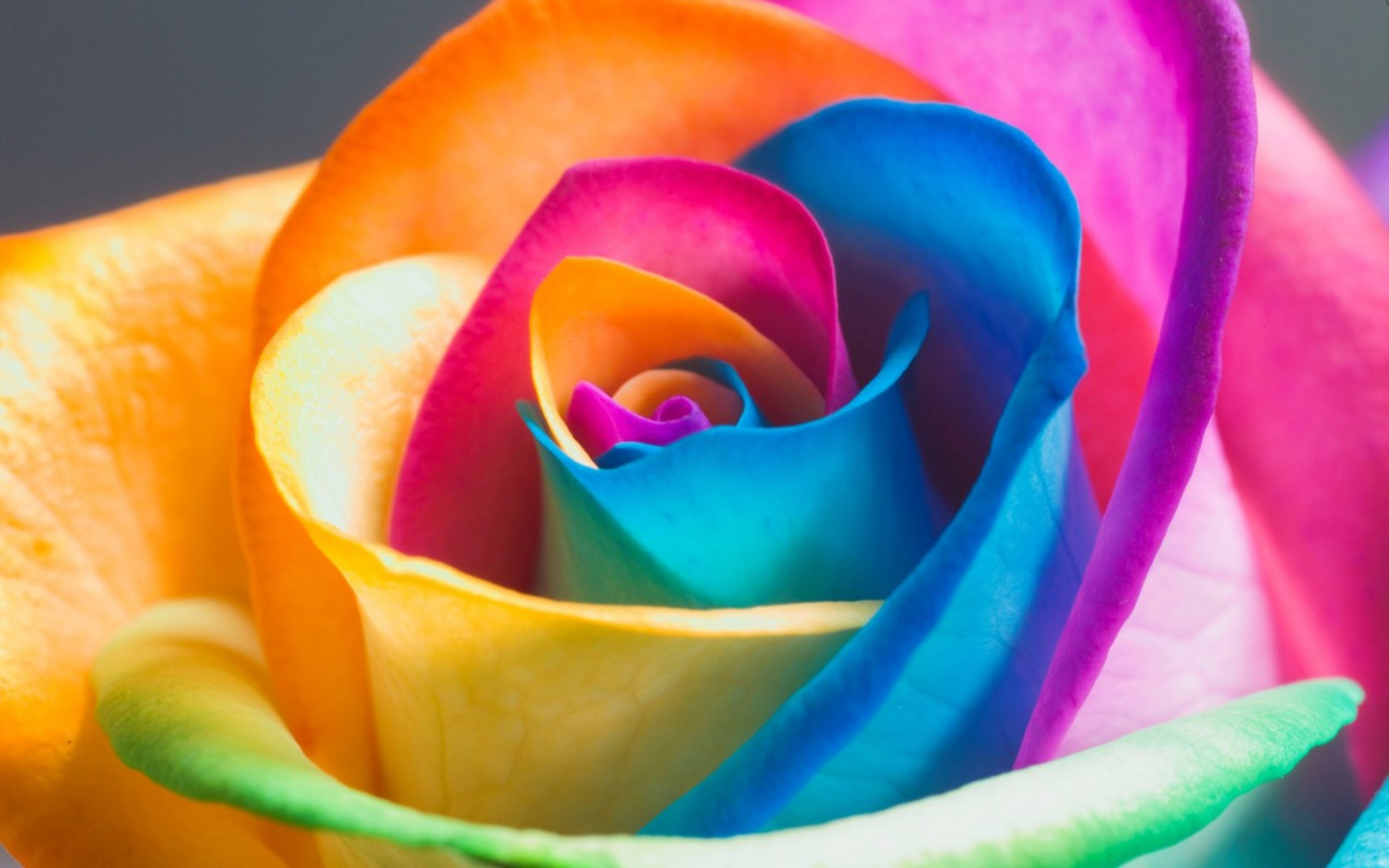 Hd wallpaper wap - Colorful Rose Beautiful Flower Hd Wallpaper