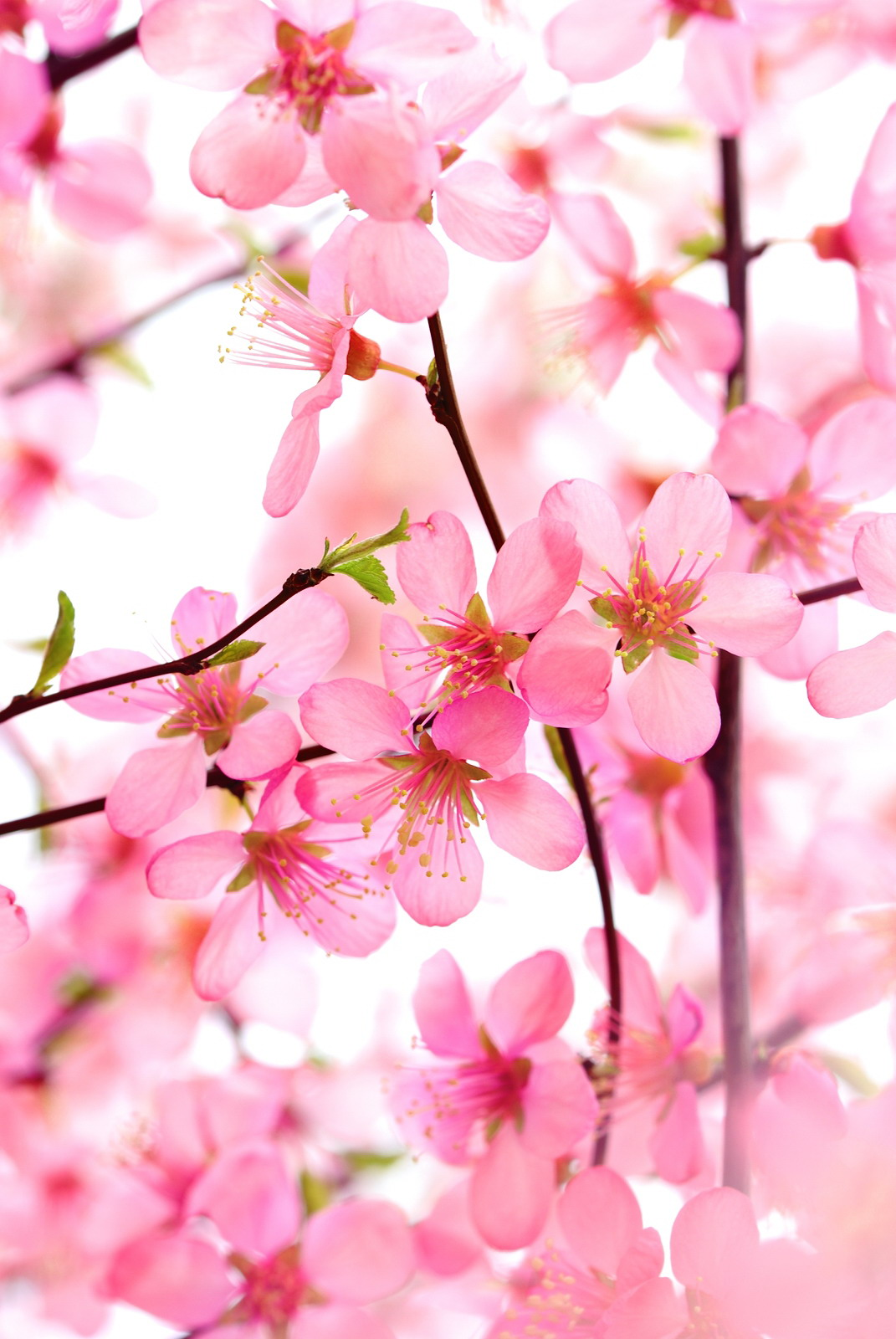 Pink Color Meaning World S Top 100 Beautiful Flowers Images Wallpaper Photos