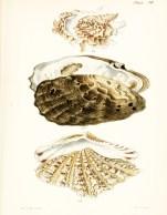 Seashell_14
