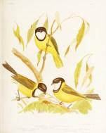 Birds of Australia_11