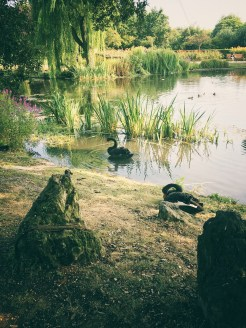 Queen Mary's Gardens - black swans