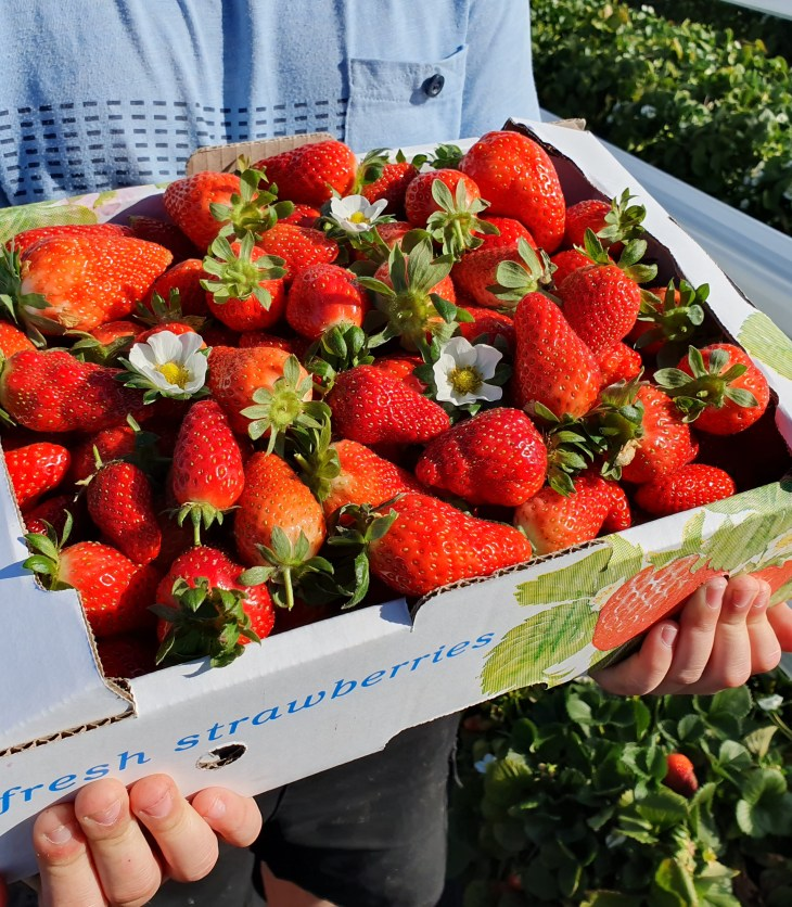 Strawberry Picking in Perth