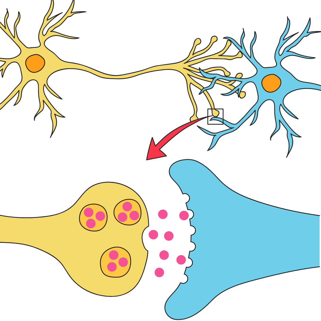 Two neurons synapsing
