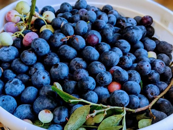 fresh wild blueberries