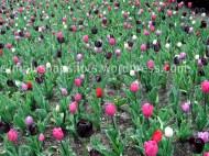Tulip Beds 2