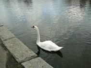 Delicate Swan