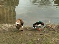 Love Ducks
