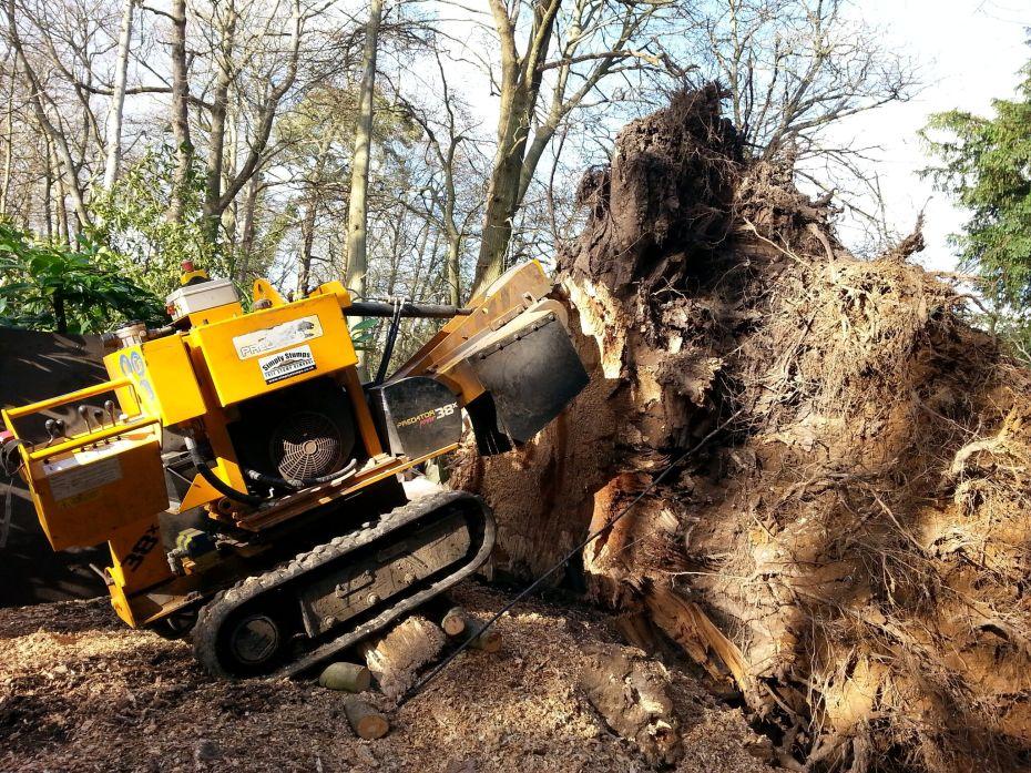 Huge Upturned Beech Stump