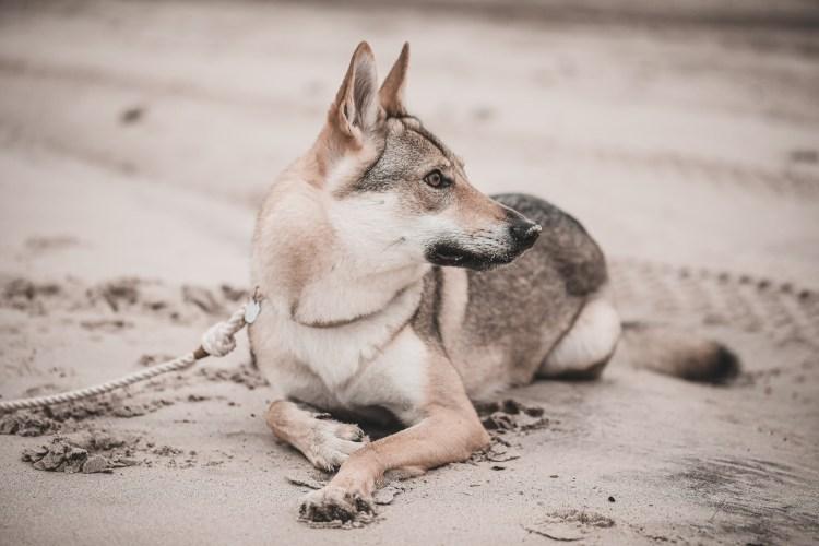 praca węchowa wilczak czechosłowacki