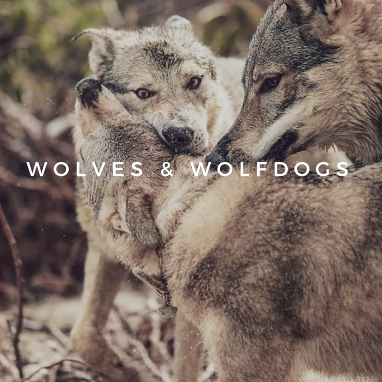 WOLVES AND WOLFDOGS-1
