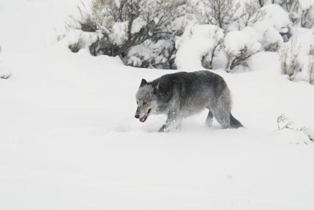 czarny wilk