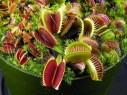 qeyri adi bitkilər Milçəkqapan