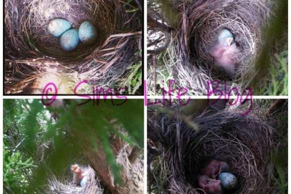 Blackbird eggs hatching