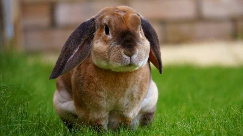 rabbit-pet-sat-on-grass