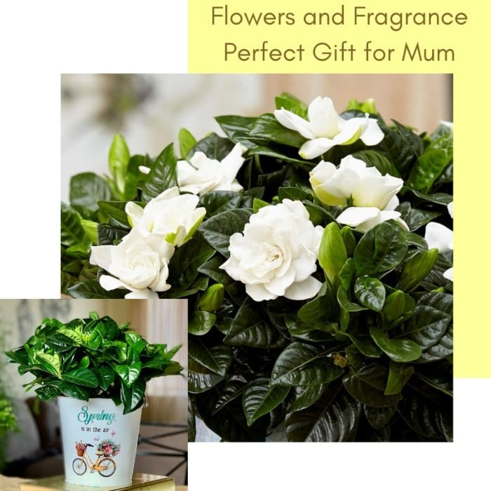 Win a Gardenia For Mother's Day