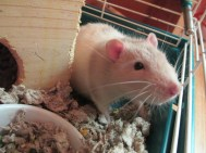 A cute rat sitting in his green cage.