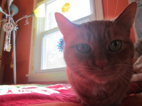 A ginger tabby staring at the camera.