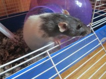 Soigné the rat (who looks pretty innocent, despite what the caption says)