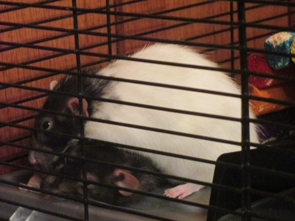 Because, as we all know, Sinai is a very soft and jiggly rodent.
