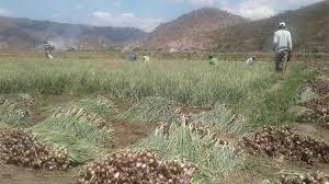 Anggaran Pertanian Minim, Petani Bawang Merah Di NTB Protes Bupati.