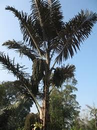 Lingkungan Tidak Rusak, Masyarakat Adat Aman Tentram, Penghasilan Negara Meningkat, Peneliti IPB Jainal Pangaribuan Minta Presiden Jokowi Kembangkan Pohon Bagot di Kawasan Danau Toba (KDT).