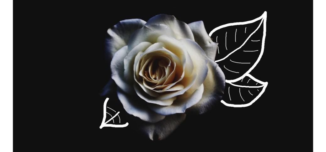 Eine weiße Rose auf schwarzem Grund.