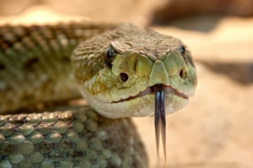 Nagas im Vergleich zu einer Giftschlange