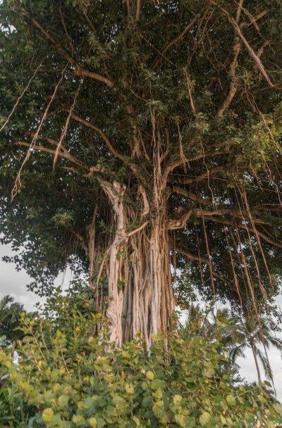 Ein aufrecht wachsender Buam, mit lianenartigen Wurzeln, die von den hohen Ästen hängen.