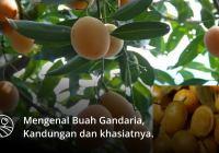 mengenal buah gandaria, kandungan dan khasiatnya