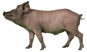 Yucatan Miniature Swine